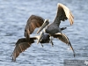 brown-pelicans
