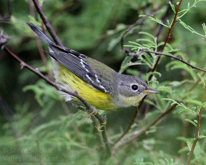 magnolia warbler fall - photo #9
